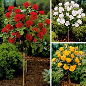 Szuper ajánlat 3 törzses rózsára