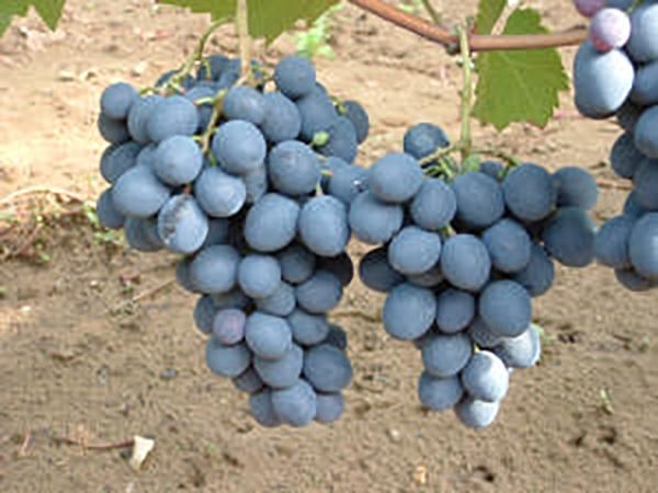 Moldova szőlő konténeres