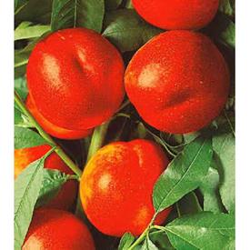 Andosa nektarin szgy